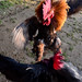 Rooster Fights at Forest Camp