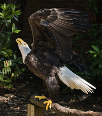 Bald Eagle Regally posed (be my butterfly) Tags: brown white bird nature beautiful yellow blog wings eagle florida beak feathers bald majestic wingspan claws maitland auduboncenterforbirdsofprey suzanneclute