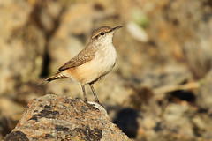 Rock Wren (Salpinctes obsoletus) (Jared Hughey) Tags: california wild bird nature animal wildlife wren northern humboldtcounty salpinctesobsoletus rockwren alderpoint rockwrenrock