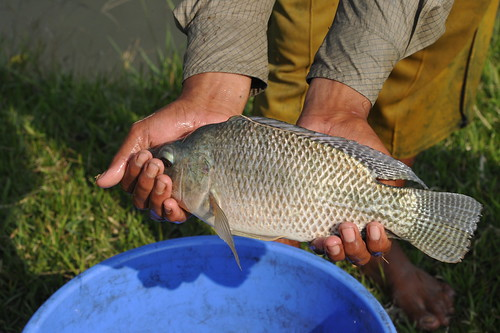Tilapia from a fish farm. Photo by Finn Thilsted, 2012.