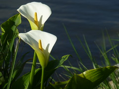 By the water's edge (Flimin) Tags: flowers wildflowers pregame gamewinner beautifulworldchallenges thechallengefactory