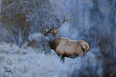 Early Morning Bull Elk - 4086b++2sg (teagden) Tags: autumn cold fall photography wildlife breath earlymorning bull elk 2012 earlymorninglight bullelk wildlifephotography jenniferhall highqualityanimals earlymorningbullelk