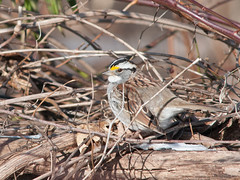 White Throated Sparrow (Joe O'Donnell) Tags: birds sparrow