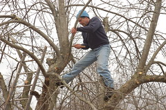 "Steve's Apple Pruning Acrobatics <a style=""margin-left:10px; font-size:0.8em;"" href=""http://www.flickr.com/photos/91915217@N00/13528279525/"" target=""_blank"">@flickr</a>"