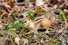 peekaboo (@klawrenc) Tags: chipmunk