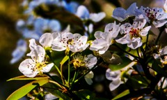 Pears Of Blooms (T i s d a l e) Tags: flower spring nikon blossom april easternnc tisdale 2014 bartlettpear d700 pearsofblooms