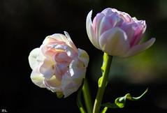 Flower Power-Part I (roland_lehnhardt) Tags: light shadow flower licht spring dof tulips bokeh pflanze blumen blume schatten tulipa frhling tulpen schrfentiefe unschrfe lilioideae beyondbokeh