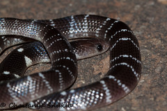 IMG_0238 (Chaitanya Shukla) Tags: india macro maharashtra panshet in commonkrait snakesofindia bungaruscaeruleus panshet201605 dawje