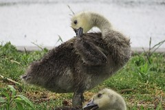 IMG_5015 (rachelaughs) Tags: baby bird nature animal geese wings babies feathers goose grooming goslings gosling waterfowl babyanimal babyanimals babygoose babygeese