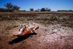 Desert Skull (Marc Heurtaut) Tags: africa colors composition landscape lumix sand desert dry wideangle bluesky na panasonic cracks namibia karas namibie animalskull drysoil lx100