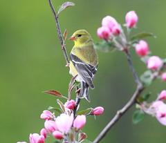 *** Gold Lady (ricketdi) Tags: bird goldfinch ngc npc americangoldfinch cantley coth chardonneret chardonneretjaune spinustristis coth5 explore31mai2016no10