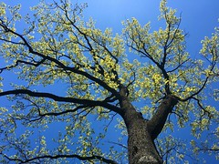 Spring is in the air! (Uldzha (LV)) Tags: blue sky green apple leaves landscape landscapes spring oak plus iphone 6s