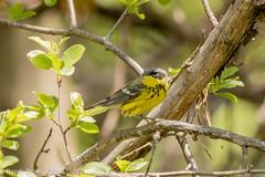 Last of the warblers (rdroniuk) Tags: birds passerines warblers smallbirds magnoliawarbler setophagamagnolia oiseaux passereaux parulines parulinettecendre