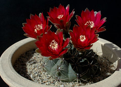 Gymnocalycium baldianum Flowers (PorchPhoto) Tags: cactus flower garden landscape succulent nikon blossom nikond70s pottedplant bloom thorns monrovia cactaceae spines potted droughttolerant droughtresistant monroviacalifornia