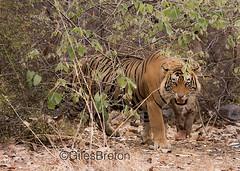 TIG00999GB_1 (giles.breton) Tags: india tiger tigers endangered ranthambhore panthera threatened andyrouse ranthambhorenationalpark pantheratigristigris royalbengaltiger dickysingh