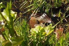 ein kleiner Frosch (ebien) Tags: garden spring allotment garten frhling kleingarten schrebergarten frhblher frhlingsblume gardenplot