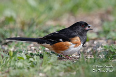 Eastern Towhee (Brian Lasenby) Tags: grass spring color easterntowhee northamerica nature environment season behaviour black eat rufous orange animal seed food male grandbend wildlife gender pipiloerythrophthalmus forest bird towhee ontario canada rufoussidedtowhee lambtonshores places