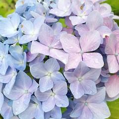 (kwon1986do) Tags: flower rain japan photo rainy hydrangea  iphone
