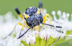 O comment faire le mort... (2). (gille33) Tags: flower macro green nature fleur insect drops waterdrop drop vert droplet waterdrops goutte insecte insectes sigma150 nikond810 gillesremus