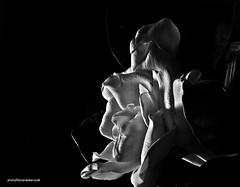 DSC_0888 Trmula (Aprehendiz-Ana La) Tags: bw macro luz fleurs nikon flickr pretty noiretblanc flor formas fiore fotografa flawer serenidad macrofotografa ptalos aprehendiz analialarroud