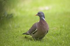 Common Wood Pigeon (Columba palumbus) (piazzi1969) Tags: uk england nature birds canon eos europe wildlife pigeons 5d foresthill tauben woodpigeon markiii commonwoodpigeon ringeltaube columbaplumbus