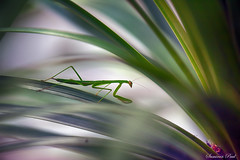 Mantis (Samiran Paul Photography) Tags: green closeup mantis insect