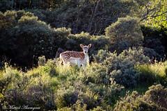 Deer (Kenjirio) Tags: summer animals wildlife zomer zandvoort amsterdamse 2016 waterleidingduinen waternet