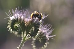 Phacelia with bee (nirak68) Tags: deutschland blossom bumblebee blte garten phacelia hummel ger boraginaceae eutin bienenfreund 160366 raublattgewchs bodenverbesserer schleswigholsteinkreisostholstein 2016ckarinslinsede grndungspflanze