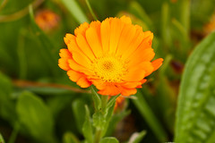 Souci officinal (ijmd) Tags: fleur flower france macro bretagne ledebatz
