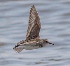 Semipalmated Sandpiper (tresed47) Tags: 2016 201606jun 20160601bombayhookbirds birds canon7d content delaware folder peterscamera petersphotos pickeringbeach places sandpiper semipalmatedsandpiper takenby us waders
