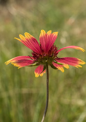 Indian Blanket Wildflower - Oklahoma State Wildflower (redfaux011) Tags: oklahoma nature outdoor wildflower stateflower photochallenge indianblanketflower
