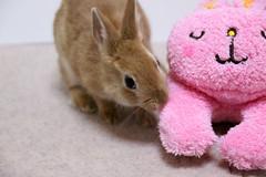 Ichigo san 215 ICHIGO san  (mensore) Tags: family pet brown cute rabbit bunny dwarf netherland ichigo   netherlanddwarf