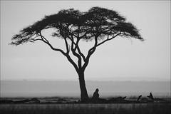 A lonely tree at dusk in Amboseli (lhirlimann) Tags: africa blackandwhite bw tree landscape noiretblanc kenya nb paysage afrique savanna amboseli riftvalley amboselinationalpark lightroom:cropped=true