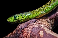 Green Assassin (Just BS) Tags: jacksonvillezoo jacksonville zoo zoosofthesouth zoosofnorthamerica itsazoooutthere animal nature wildlife aza florida canon reptile snake greenmamba mamba
