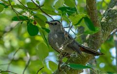 Gray Catbird (Summerside90) Tags: birds birdwatcher graycatbird june summer serviceberry backyard garden nature wildlife ontario canada