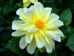 ASTERACEAE 菊科 - Dahlia hybrida 芍藥仔 (kaiyanwong223) Tags: white yellow asteraceae flowershow 菊科 芍藥仔 dahliahybrida taxonomy:binomial=dahliahybrida