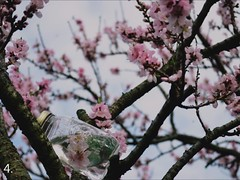 Tales of a Springtime Peach Tree (the air we breathe.) Tags: camera wood old pink flowers trees light flower color detail tree texture nature water colors grass barn yard vintage dark season landscape photo video spring focus colorful photos blossom bokeh mason blossoms peach books bee masonjar land jar buds variety limbs slideshow tones jars peachtree oldcamera antiquecamera masonjars