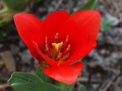 wiosna Frhling spring 2012 (arjuna_zbycho) Tags: flowers flower nature spring blumen tulip blume kwiaty tulipa frhling tulpen tulipano wiosna tulipes kwiat tulipan tulipn lale makrofoto tulppaanit   laleaua