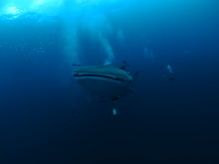 Whale Shark @ Sail Rock (Marcel Waldis Underwater Photography) Tags: water port giant shark photo underwater wideangle olympus panasonic whaleshark kohphangan 8mm suratthani underwaterphotography sailrock photox waterx golfofthailand photographyx epl1 olympusepl1 ptep01 panasonic8mmfisheye underwatterfotography seaandsea110a ptep01housing 8mmpanasonicfisheye precisiondomeport solaphoto1200 sailrockthailand