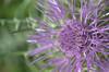 viola (voyager7000) Tags: sardegna macro sardinia natura fiori prato insetti nuxis voyager7000