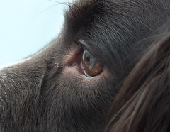 Looking out the window (Shooting Star <3) Tags: portrait dog english closeup spring spaniel springer indi