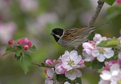 MALE REED BUNTING Emberiza, schoeniclus, IN APPLE BLOSSOM UK (PANDOOZY PHOTOS) Tags: uk tree male apple reed feeding blossom feeds bunting emberiza schoeniclus