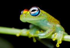 polk-a-dot frog (Boophis sp.) (pbertner) Tags: macro nature photography nationalpark rainforest wildlife reserve biology madagascar macrography andasibe macrolife vohimana ambavaniasy