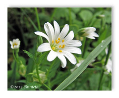 Beaut blanche ( Annieta  Off / On) Tags: white holiday france flower primavera nature fleur canon french vacances vakantie spring lyon natuur powershot april frankrijk s2is wildflower fiore lente wit blanc printemps allrightsreserved blum 2012 bloem voorjaar rhnealpes thegalaxy millery annieta cerastiumarvense abigfave wildebloem 69390 akkerhoornbloem macromarvels macroflowerlovers usingthisphotowithoutpermissionisillegal coteauxlyonnais