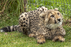 Cute Cheetah (Johnny Peacock) Tags: africa travel baby cute animal southafrica photography cub young teen cheetah adolescent hdr spier spierwinery cheetahoutreach cutecheetah blinkagain johnnypeacock traverseearth