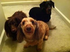 Well? Do Somerhing! (Tobyotter) Tags: dog chien pet frank hound canine dachshund perro hund link wienerdog dackel teckel k9 jimmydean doxie sausagedog aplaceforportraits pointyfaceddog