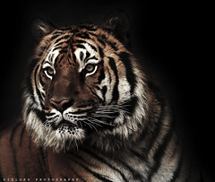 My Tiger ;) (ZiZLoSs) Tags: wild black animal canon eos tiger 400mm abdulaziz 600d zizloss almanie