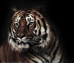 My Tiger ;) (ZiZLoSs) Tags: wild black animal canon eos tiger 400mm abdulaziz 600d zizloss almanie