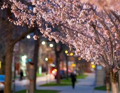 (j-riviere) Tags: flowers toronto nature cherry spring nikon blossoms sakura d300s blinkagain