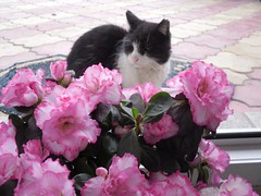 Pusuki & the flower (Ramona R***) Tags: pink flowers pet flores flower animal rose fleurs cat fur kat feline chat kitty gato gata katze mace azalea kot kuching kedi kass katt kato kissa pusa paka cattus pisica gatoo motan pusuki rememberthatmomentlevel1
